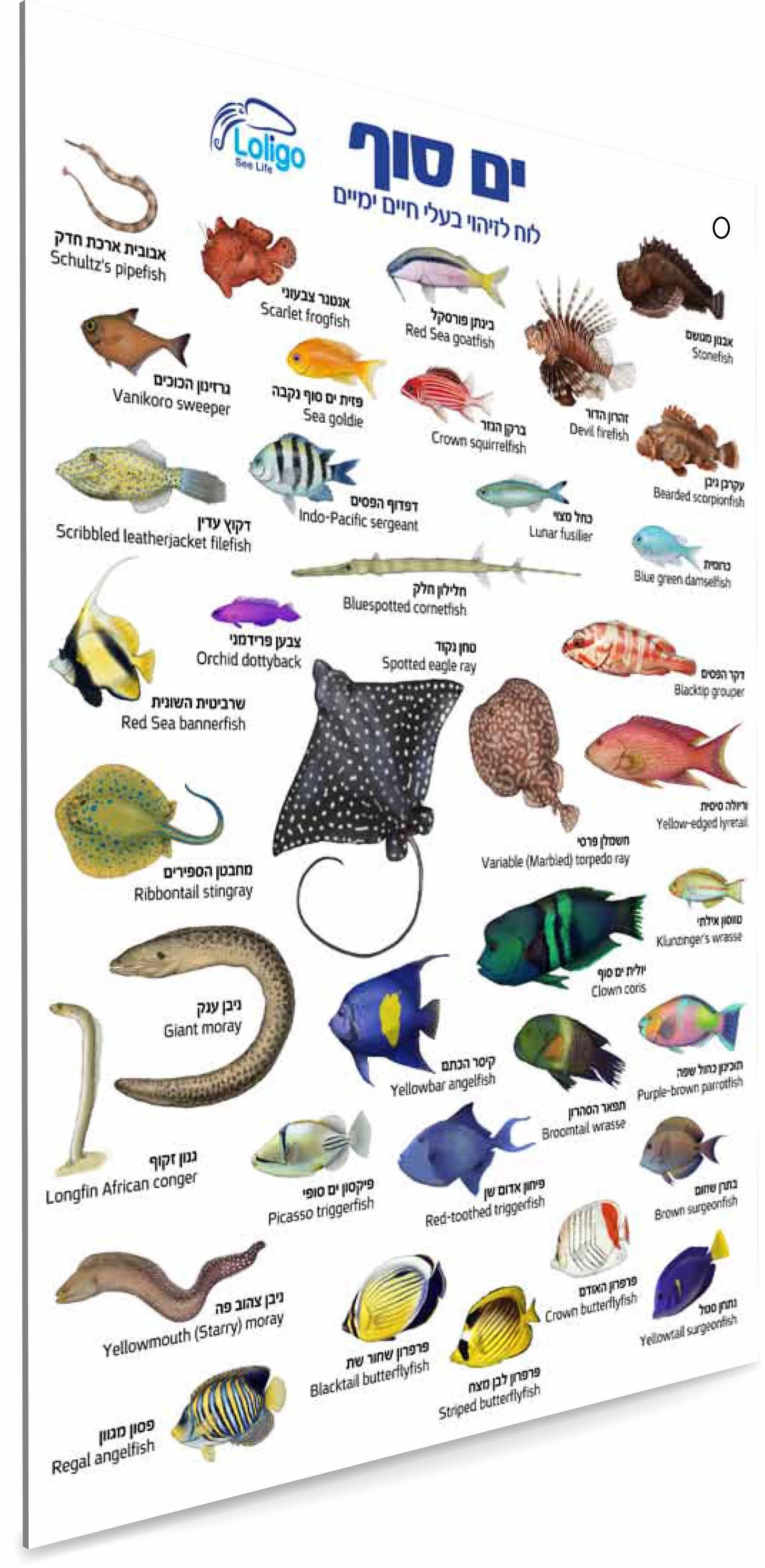 מדריך תת-ימי לזיהוי בעלי חיים בים סוף