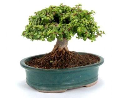 """""""פיקולו"""" עץ ננסי"""