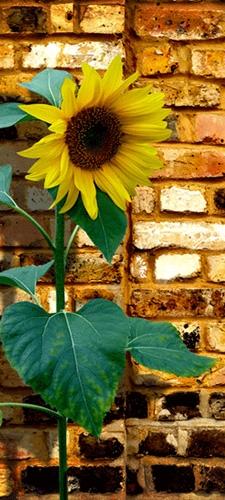 תמונת טפט חמניה - Sun Flower