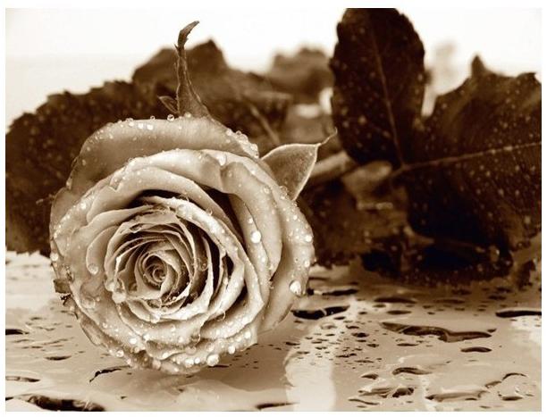 תמונת טפט לקיר - ורד בשחור/לבן