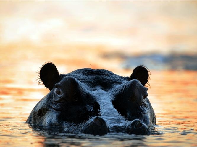 תמונת טפט היפופוטם - Hippo