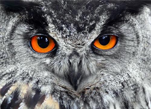 תמונת טפט של ינשוף