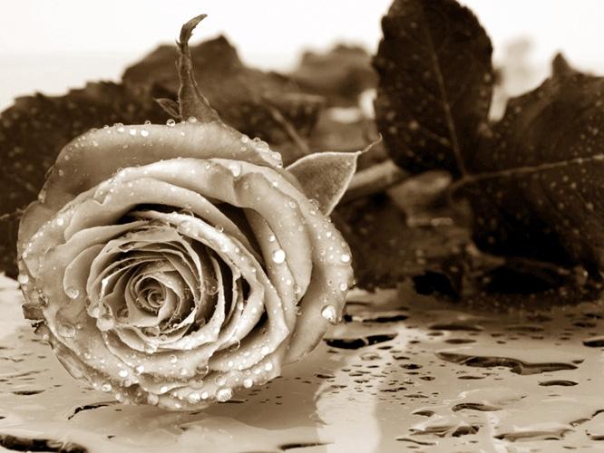 תמונת טפט ורד - Rose