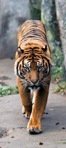 תמונת טפט טיגריס - Tiger
